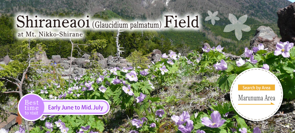 Shiraneaoi (Glaucidium palmatum) Field at Mt. Nikko-Shirane