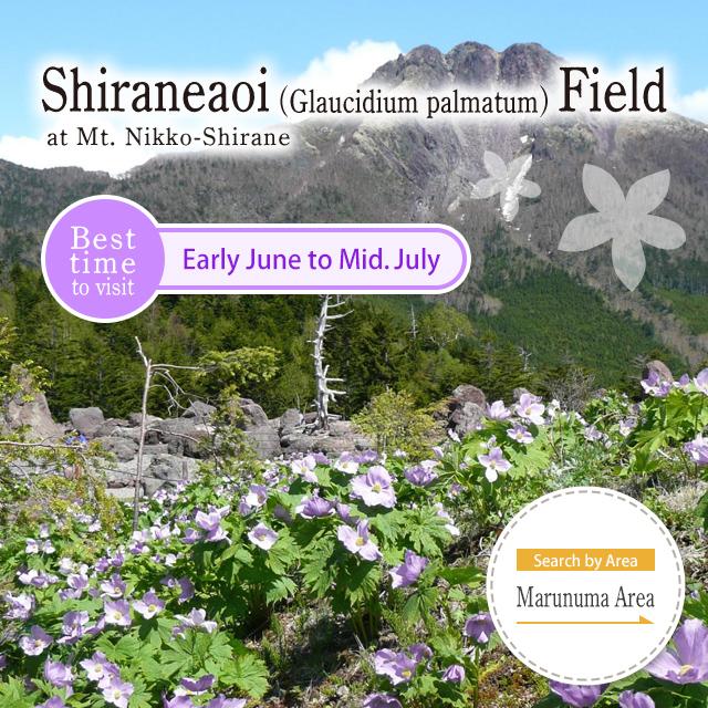 Shiraneaoi (Glaucidium palmatum) Field at Mt. Nikko-Shirane