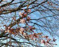 天王桜開花