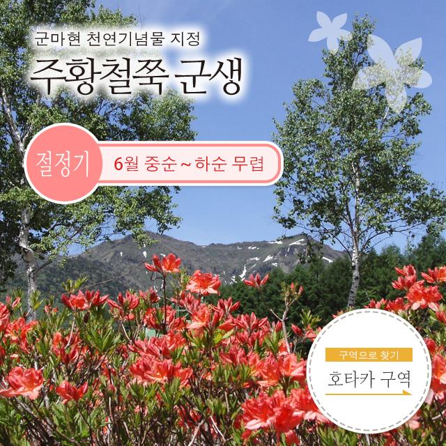 군마현 천연기념물 지정 주황철쭉 군생