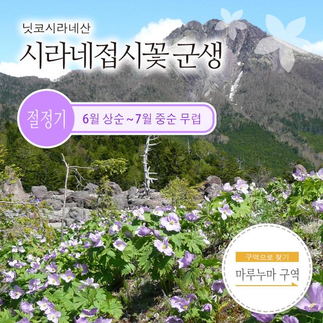 닛코시라네산 시라네접시꽃 군생