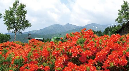 被選定為群馬縣天然紀念物的「日本杜鵑」