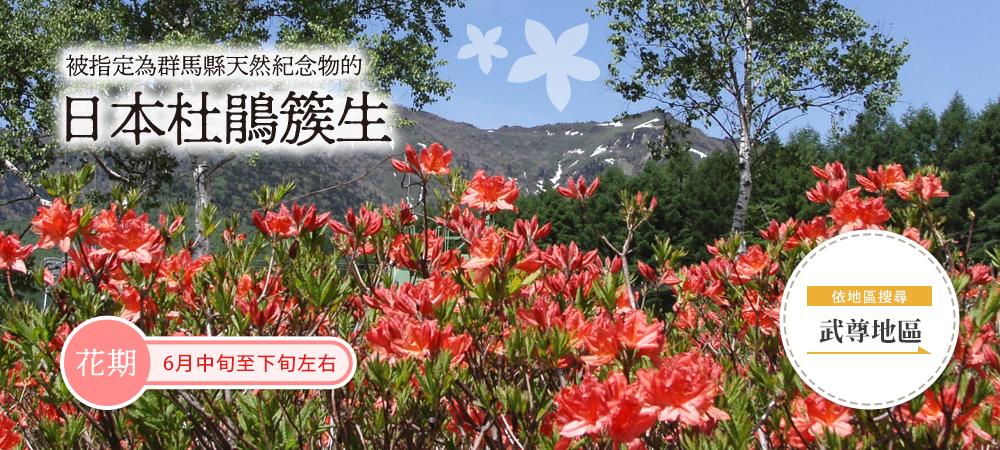 被指定為群馬縣天然紀念物的日本杜鵑簇生
